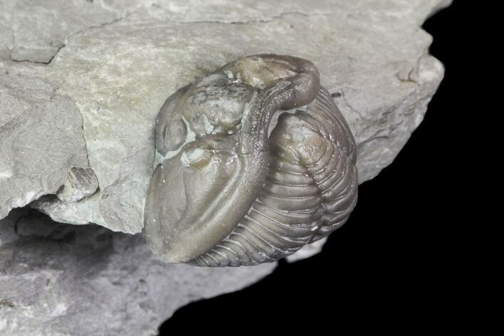 ".8"" Wide, Enrolled Flexicalymene Trilobite In Shale - Ohio"