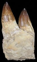 "6.9"" Mosasaur (Prognathodon) Jaw Section For Sale, #67964"