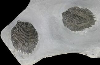 Buy Killer, Double Arctinurus Trilobite Plate - New York - #68089