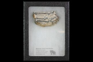 "1.8"" Mammoth Molar Slice With Case - South Carolina For Sale, #67745"