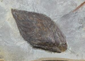 "Buy 1.6"" Detailed Fossil Leaf (unidentified) - Montana - #68269"