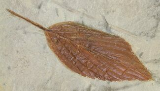 "Buy 2.2"" Detailed Fossil Hackberry Leaf - Montana - #68326"