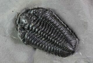 "Buy 1.35"" Calymene Niagarensis Trilobite - New York - #68383"