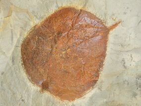 "Buy 1.4"" Detailed Fossil Leaf (Zizyphoides) - Montana - #68293"
