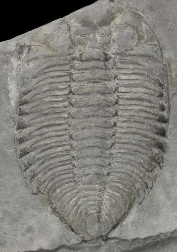 "1.6"" Partial Dalmanites Trilobite - New York"
