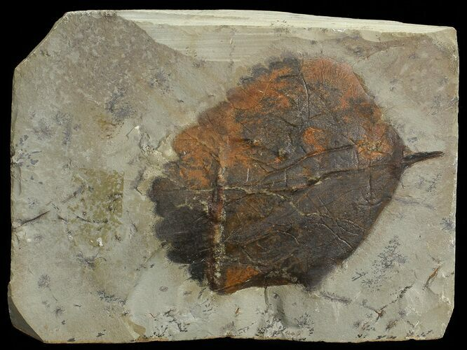 "1.7"" Detailed Fossil Leaf (Zizyphoides) - Montana"