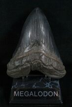 "5.55"" Black Georgia Megalodon Tooth For Sale, #5540"