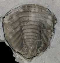 Trimerus delphinocephalus - Fossils For Sale - #68568