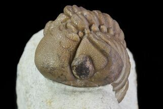 Buy Detailed Lochovella (Reedops) Trilobite - Oklahoma - #68632