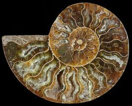 "2.8"" Agatized Ammonite Fossil (Half)  For Sale, #68828"