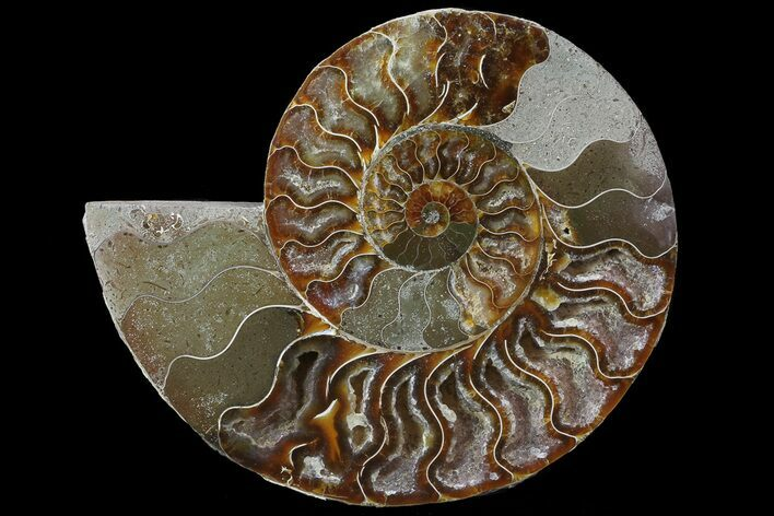 "6.7"" Cut Ammonite Fossil (Half) - Agatized"