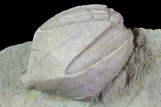 Pentremites godoni - Fossils For Sale - #68952