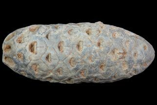 "Buy 1.7"" Agatized Seed Cone (Or Aggregate Fruit) - Morocco - #68734"