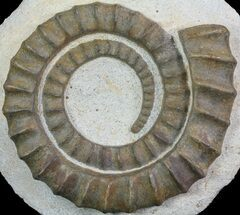 "5"" Devonian Ammonite (Anetoceras) - Morocco For Sale, #68777"