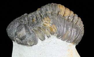 "Bargain, 2.4"" Barrandeops Trilobite - Foum Zguid, Morocco For Sale, #68606"