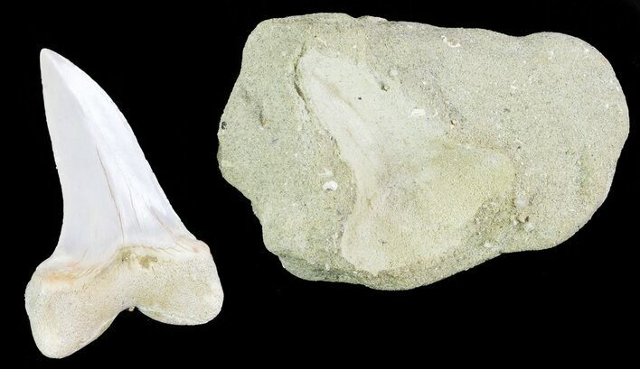 "1.7"" Mako Shark Tooth Fossil On Rock - Bakersfield, CA"