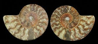 Cleoniceras - Fossils For Sale - #69012
