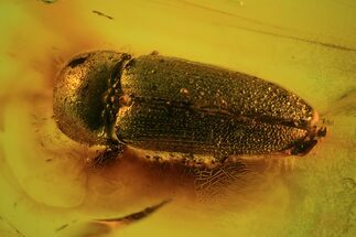 Buy Fossil Beetle (Coleoptera) In Baltic Amber - #69304