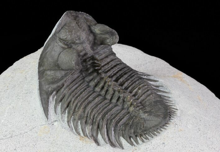 "1.9"" Tower Eyed Erbenochile Trilobite"