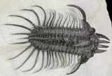 "Alien Looking Spiny Quadrops Trilobite - 3.15"" - #69576-1"