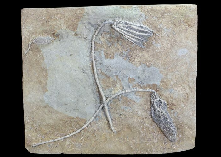 Three Species of Crinoids On One Plate - Crawfordsville, Indiana