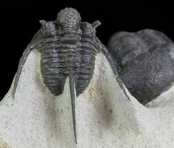 Spiny Cyphaspis & Austerops Trilobite Association For Sale, #69749