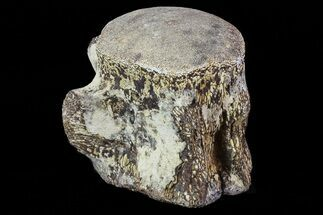 "Buy 2.5"" Mosasaur Vertebrae - North Sulfur River, Texas - #70288"