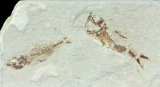 Unidentified - Fossils For Sale - #70023