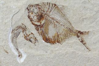 "3.5"" Fossil Fish (Diplomystus) - Hakel, Lebanon For Sale, #70439"