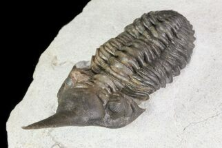 "1.95"" Lanceaspis Trilobite - Extremely Rare Species For Sale, #70583"