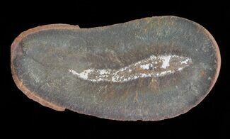 "1.4"" Didontogaster Fossil Worm (Pos/Neg) - Mazon Creek For Sale, #70592"