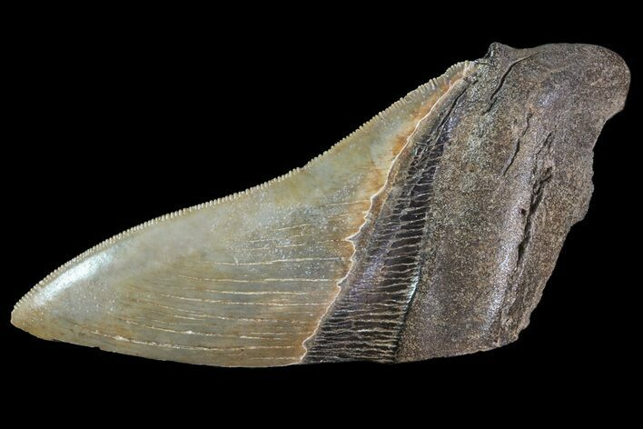 "Serrated, 4.81"" Fossil Megalodon Tooth ""Paper Weight"""