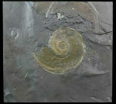 "Buy 5.7"" Pyritized Ammonite (Harpoceras) Fossil - Germany - #51151"