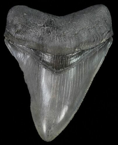 "Serrated, 4.30"" Fossil Megalodon Tooth"