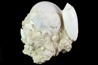 "Buy 2.7"" Tall Miocene Fossil (Gastropod) Cluster - France - #70864"