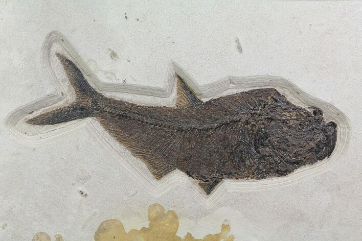 "19.5"" Fossil Fish (Diplomystus) On 32"" Slab  - Wyoming"
