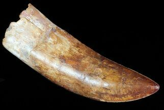 "Huge, 5.5"" Carcharodontosaurus Tooth - Composite Tooth For Sale, #71090"