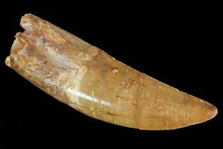 "5.1"" Carcharodontosaurus Tooth - Serrated Dinosaur Tooth  For Sale, #71096"