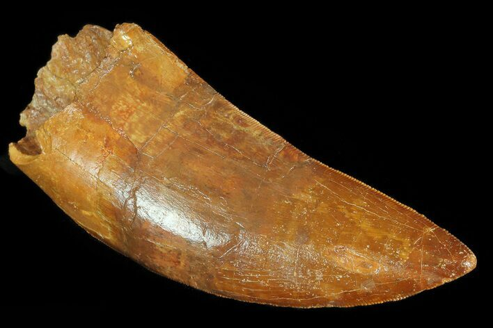 "4.25"" Carcharodontosaurus Tooth - Great Serrations"