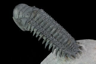 "3.3"" Flying Crotalocephalina Trilobite - Laatchana, Morocco For Sale, #56549"