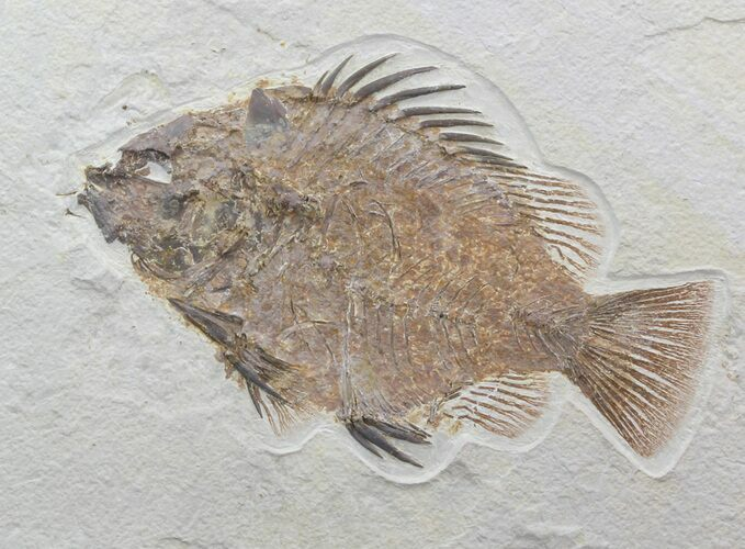 "Large, 8"" Priscacara Fossil Fish - Wyoming"