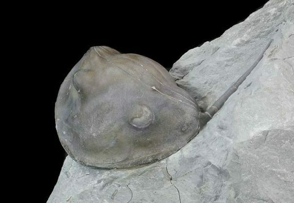 Inflated, Enrolled Isotelus Trilobite - Ohio