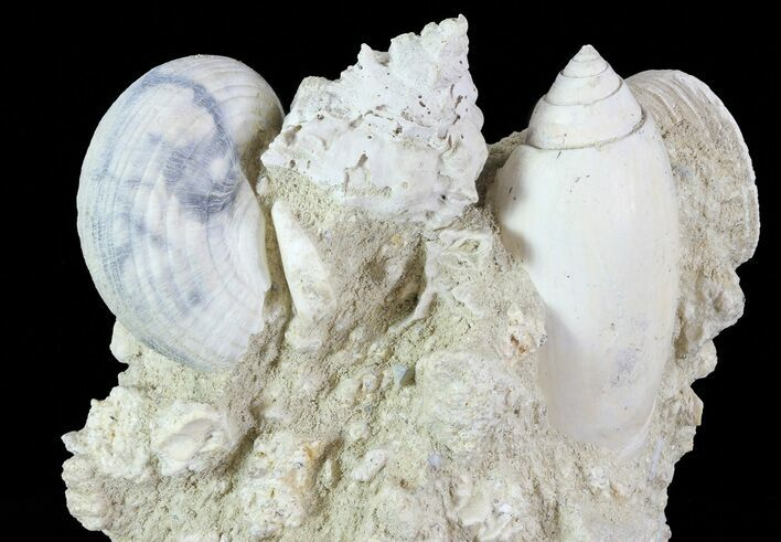 "3.1"" Tall Miocene Fossil (Gastropod) Cluster - France"