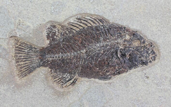 "5.5"" Priscacara Fossil Fish - Wyoming"