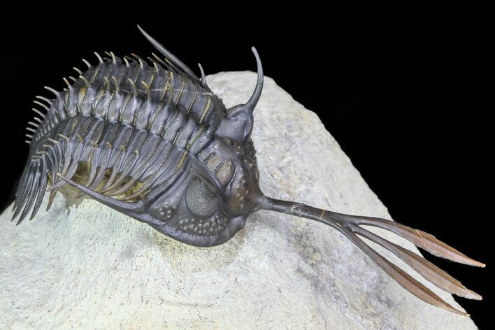 "2.9"" Trident"" Walliserops Trilobite - Flying Preparation"