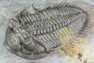 Trilobite Fossils For Sale