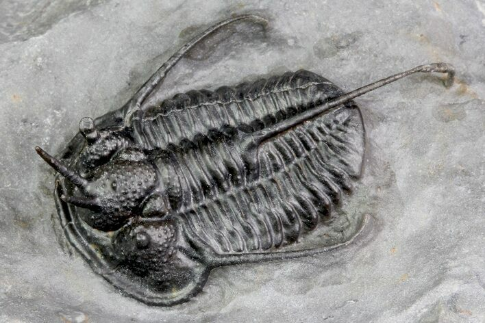 "1.5"" Devil Horned Cyphaspis Trilobite - Top Quality Specimen"