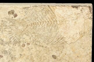 Priscacara serrata - Fossils For Sale - #71805