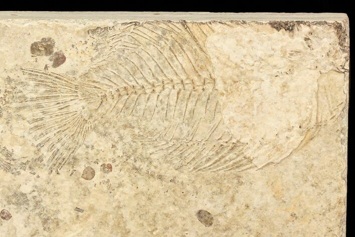 "Bargain, Unprepared Fossil Fish (Priscacara) - 4"" Long"