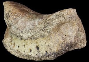 "3.9"" Ceratopsian Dinosaur Toe Bone - Alberta (Disposition #000028-29) For Sale, #71705"